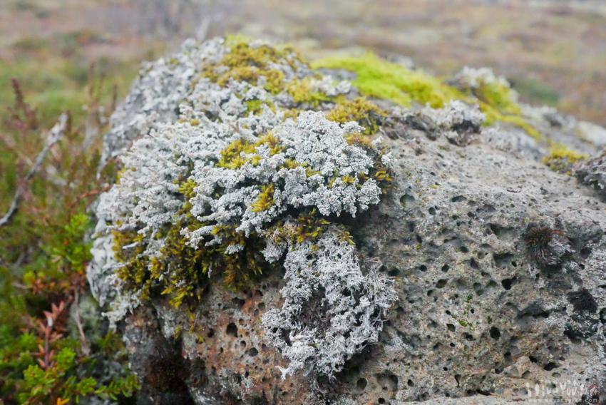 アイスランドの堅い溶岩石に這う苔