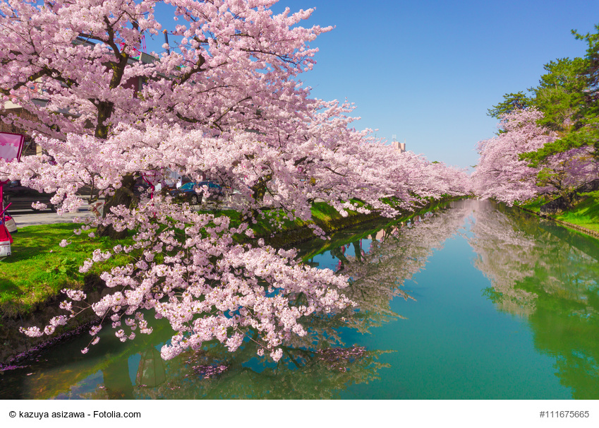hirosaki park cherry brossom
