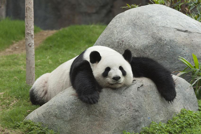 岩の上でだらけるパンダがかわいい